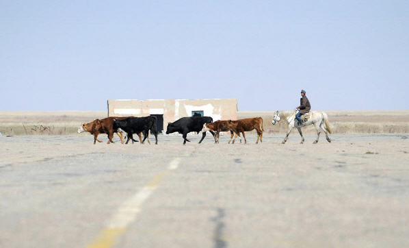 En hyrde driver sine kvæg over en rullevej på Baikonur